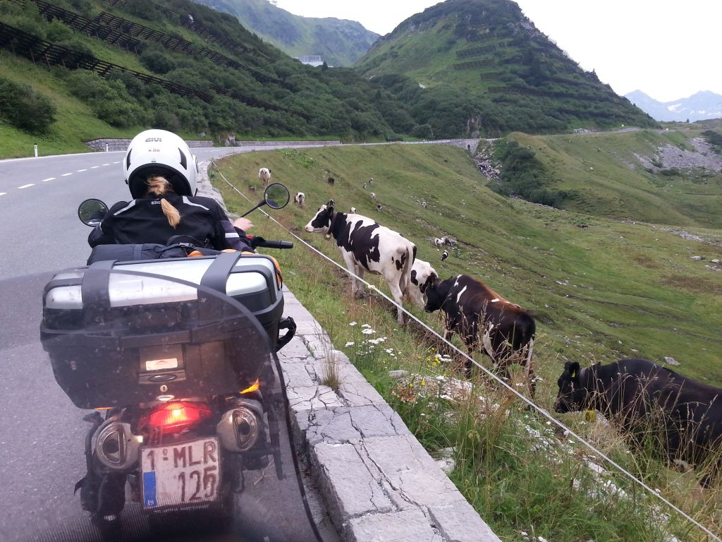 Agata_Alps_cows